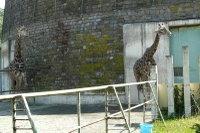 Giraffes10