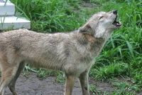 Wolves04