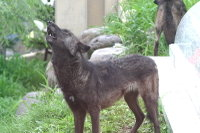 Wolves05