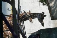 Giraffes11