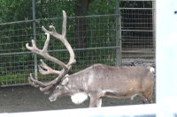 Reindeer08