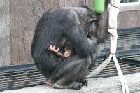 Chimpanzee_baby05