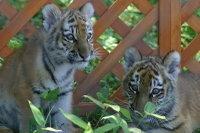 Tigers_k01