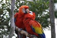 Scarlet_macaw01