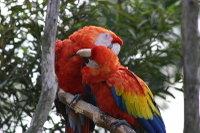 Scarlet_macaw02