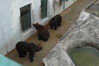 Brown_bear06