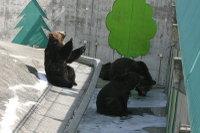 Brown_bear07