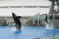 Orca13