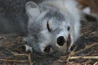 Arctic_fox29