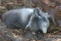 Arctic_fox30