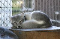 Arctic_fox31