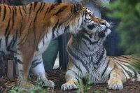 Tigers17