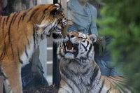 Tigers18