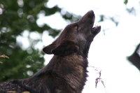 Wolf04