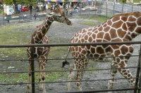 Giraffes13