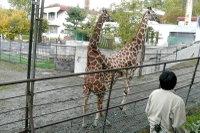 Giraffes14