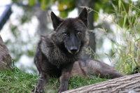 Wolf07