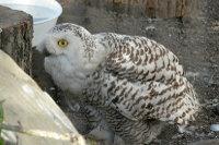 Snowy_owl08