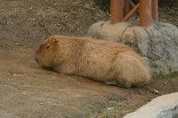 Capybara07