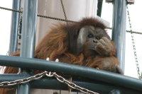 Orangutan19