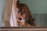 Orangutan20