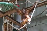 Orangutan21