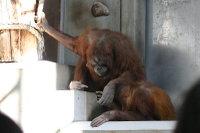 Orangutan22