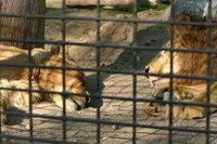 Lions_k01