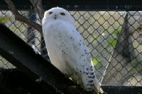 Snowy_owl09