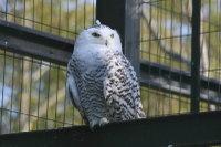 Snowy_owl10
