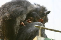 Chimpanzee_baby06