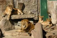 Lions34
