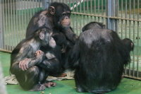 Chimpanzee07