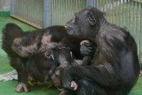 Chimpanzee09