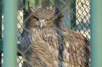 Blakistons_fish_owl11