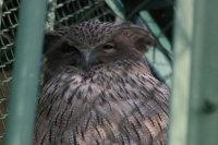 Blakistons_fish_owl12