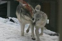 Wolves_m04