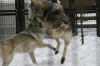 Wolves_m05