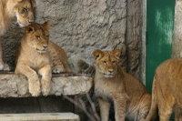Lions_m02