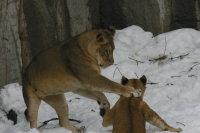 Lions_m03