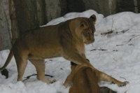Lions_m04