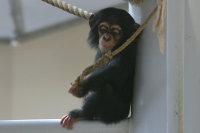 Chimpanzee10