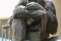 Chimpanzee11