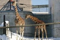 Giraffes15