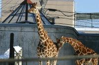 Giraffes16