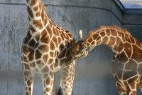 Giraffes17