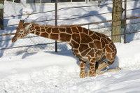 Giraffe10