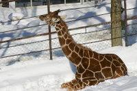 Giraffe11