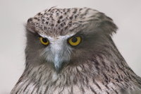 Blakistons_fish_owl15