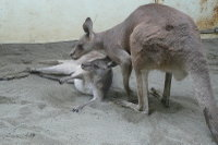 Kangaroo09